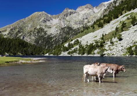 vacas en el lago de  la estcaión de esqui en boi taull